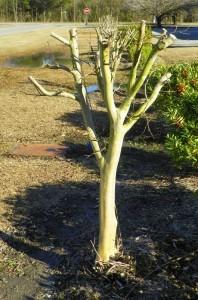crepe myrtle pruning