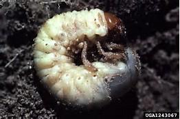 Grub Worm